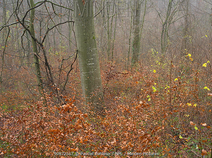 Beech forest (Fagus sylvatica) in winter, Saint Gobain forest, Picardy, France, December 2020.