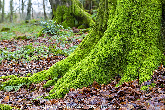 Rough-stalked feather-moss (Brachythecium rutabulum) covering base of tree surrounded by leaf litter, Catbrook, Monmouthshire, Wales, UK.