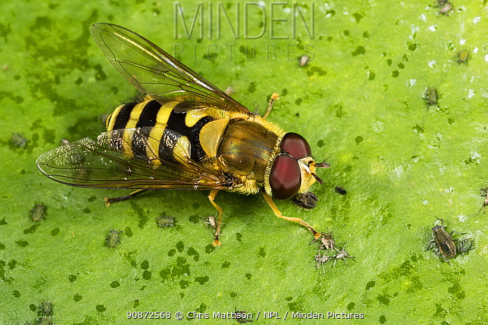 Hoverfly (Syrphus ribesii) male, a wasp mimic, resting on leaf with small bugs.