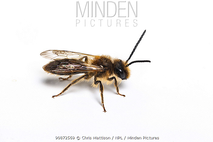 Gwynne's mining bee (Andrena bicolor) male, Monmouthshire, Wales, UK.