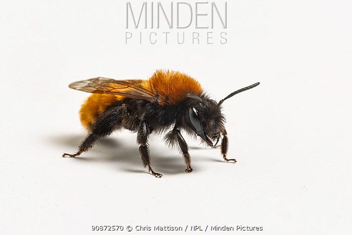 Tawny mining bee (Andrena fulva), female, Catbrook, Monmouthshire, Wales, UK.