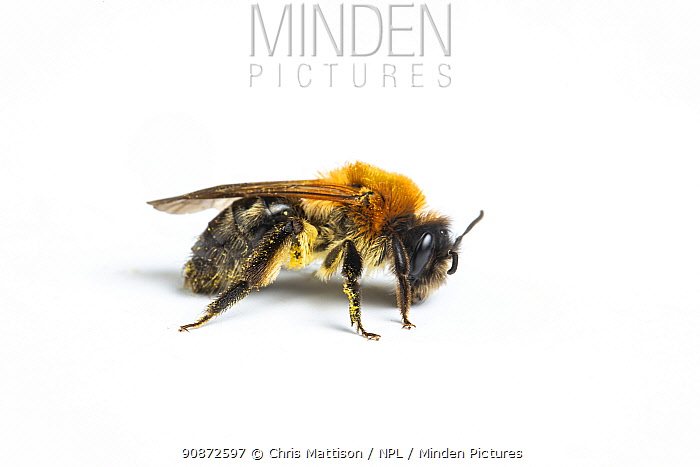 Grey-patched mining bee (Andrena nitida) female in profile, Catbrook, Monmouthshire, Wales, UK.