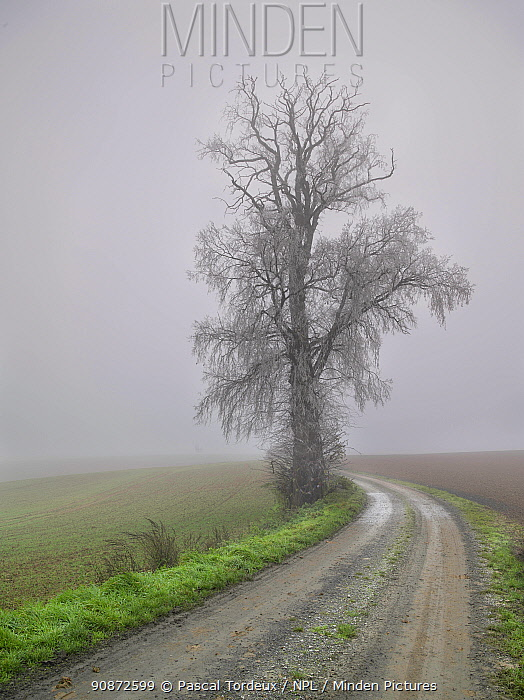 Large frost covered Elm tree (Ulmus) growing at edge of field along country lane in winter, Villers Le Sec, Picardy, France