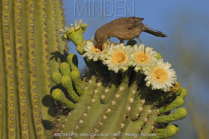 Curve-billed thrasher (Toxostoma curvirostre) feeding on nectar in Saguaro cactus (Carnegiea gigantea) blossom and the insects trapped in them, Sonoran Desert, Arizona, USA.
