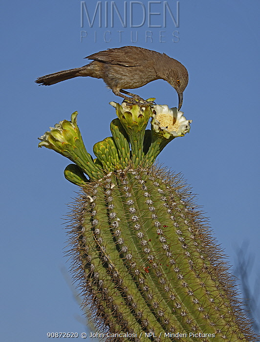 Curve-billed thrasher (Toxostoma curvirostre) feeding on Saguaro cactus(Carnegiea gigantea) blossom nectar and the insects trapped in it, Sonoran Desert, Arizona, USA.