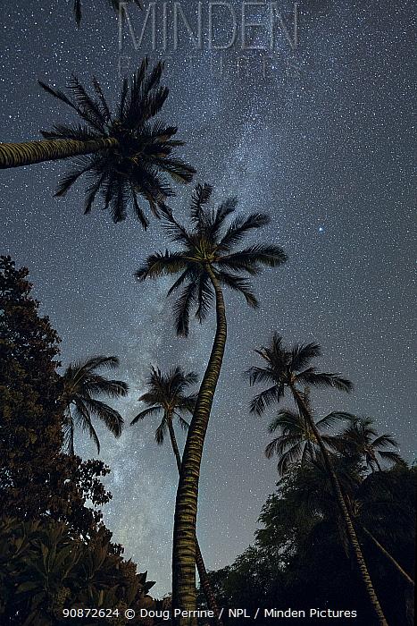 The Milky Way in night sky above Coconut palms (Cocos nucifera) at Puako, South Kohala, Hawaii. October, 2020
