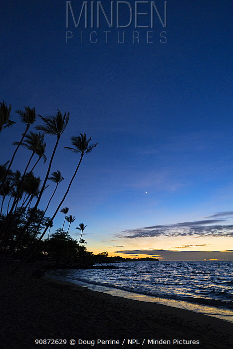 Sunset after-glow at Anaeho'omalu Bay with silhouetted palm trees, South Kohala, Hawaii. October, 2020.