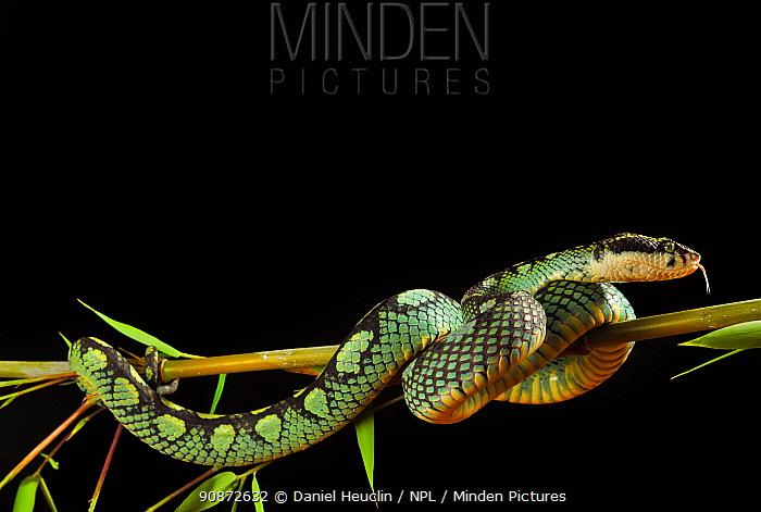 Sri Lanka pit viper (Trimeresurus trigonocephalus) on bamboo branch, captive, occurs in Sri-Lanka.