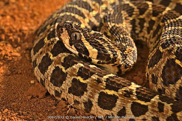 Lowland Swamp Viper (Proatheris superciliaris) captive, occurs in Tanzania, Mozambique, Malawi, Africa.