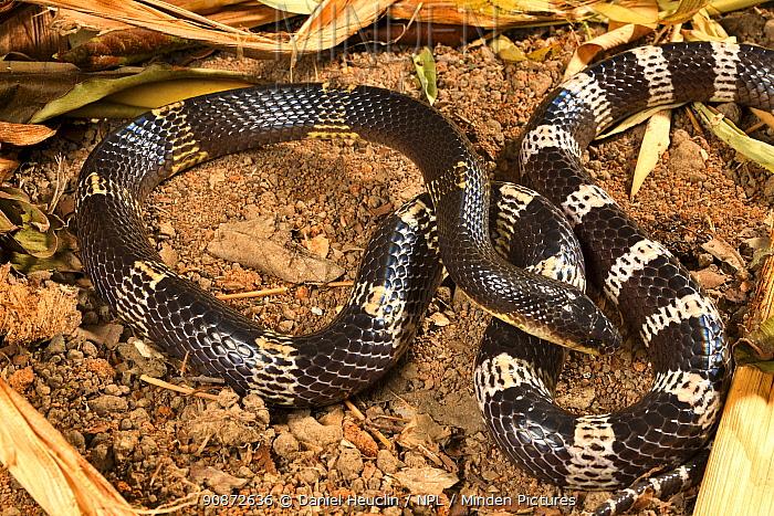 Blue krait (Bungarus candidus) captive, occurs in South East Asia.