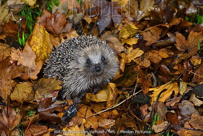 Hedgehog (Erinaceus europaeus) juvenile in winter. among fallen leaves, Dorset, UK December