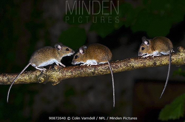 Three Wood mice (Apodemus sylvaticus) climbing on a hazel branch at night. Dorset, UK August