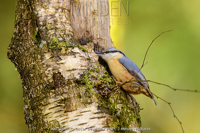 Nuthatch (Sitta europaea) feeding on tree trunk. Forest of Dean, Gloucestershire, England, UK. March.