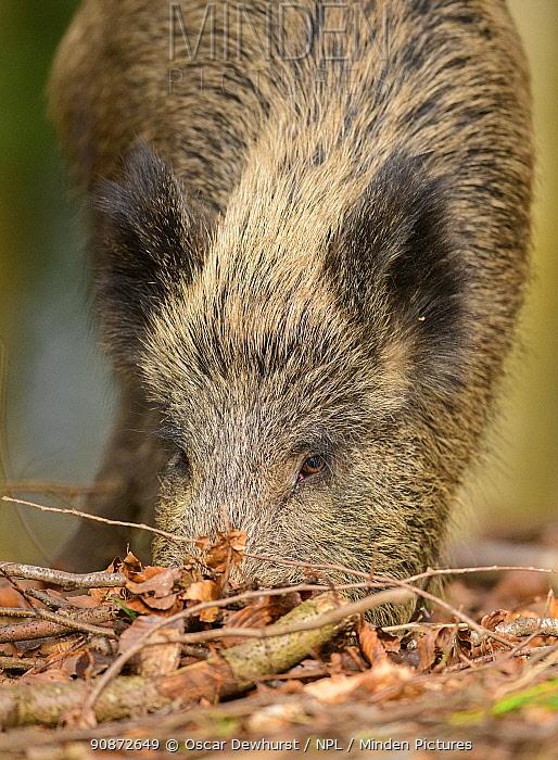 Wild boar (Sus scrofa) adult female feeding in leaf litter. Forest of Dean, Gloucestershire, England, UK. March