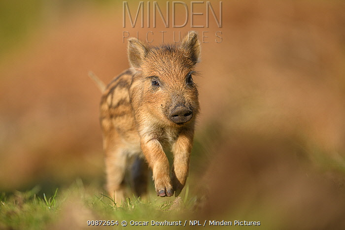 Wild boar (Sus scrofa) piglet. Forest of Dean, Gloucestershire, England, UK. March