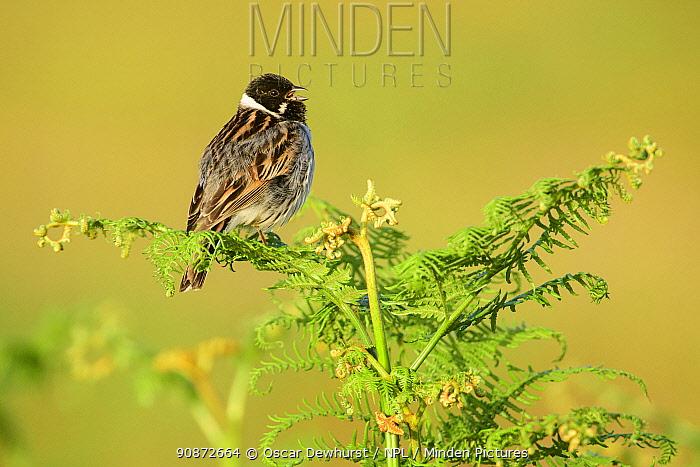 Reed bunting (Emberiza schoeniclus) male singing from bracken fern. Richmond Park, London, England, UK. May