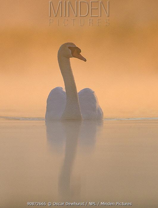 Mute swan (Cygnus olor) adult swimming on a misty lake, backlit at sunrise. Richmond Park, London, England, UK. May