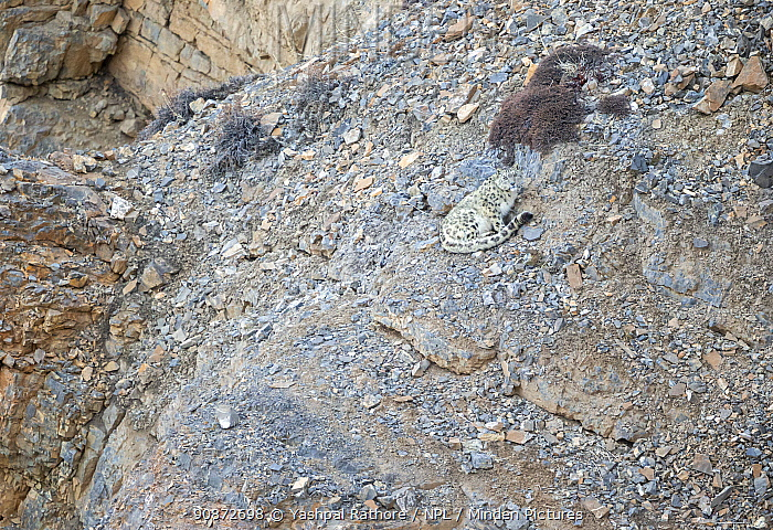 Snow leopard (Panthera uncia) resting on a mountainside, Kibber Wildlife Sanctuary, India. March.
