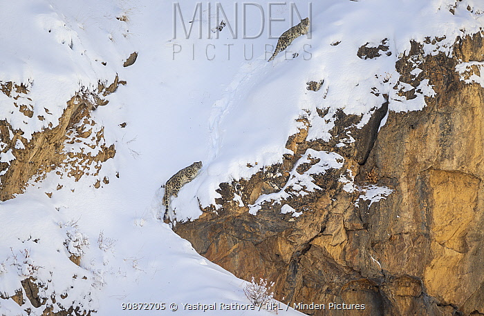 Snow leopard (Panthera uncia) mother and her sub-adult cub climbing up steep mountainside covered in thick snow, Kibber Wildlife Sanctuary, India. March.