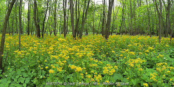 Butterweed (Packera glabella) under deciduous forest canopy, Lake of the Woods Forest Preserve, Champaign County, Illinois, USA. aaaaaamay