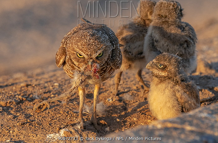 Burrowing owl (Athene cunicularia) female and three chicks. Female with remains of her fourth chick in mouth which she has been eating, Marana, Arizona, USA.