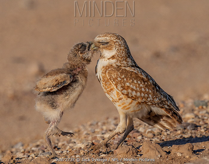 Burrowing owl (Athene cunicularia) chick and parent perched on ground, chick begging parent for food, Marana, Arizona, USA.