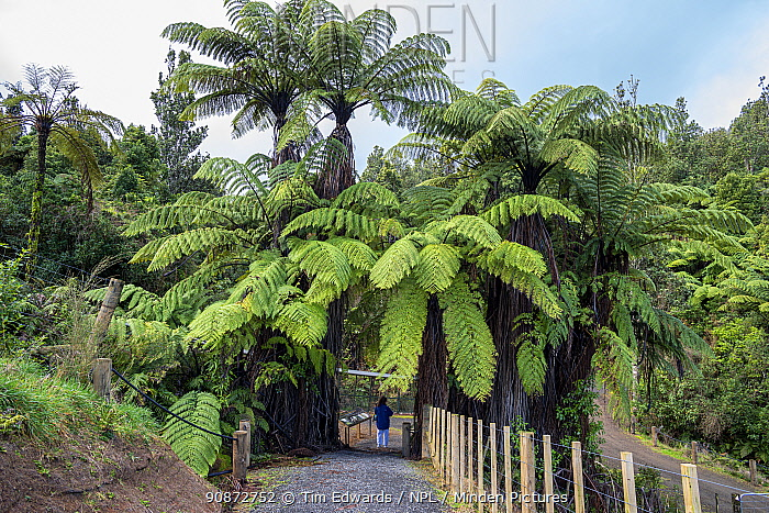 Visitor dwarfed by Tree ferns at Southern Entrance to Maungatautari Ecological Island Reserve, North Island, Waikato, New Zealand, July 2019.