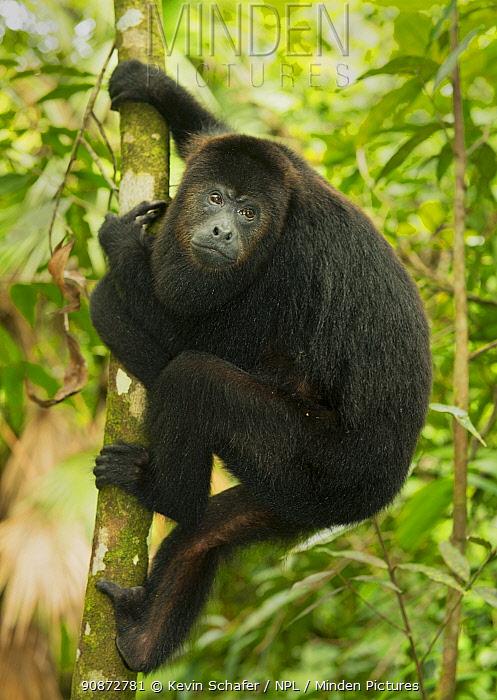 Guatemalan Black Howler Monkey (Alouatta pigra) Community Baboon Sanctuary, Belize, Central America. Endangered species.