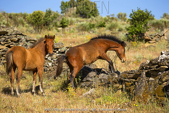 Two wild Garrano (Equus ferus caballus) foals, climbing over a crumbling wall, Faia Brava Reserve, part of Rewilding Europe, Greater Coa Valley, Portugal. May.