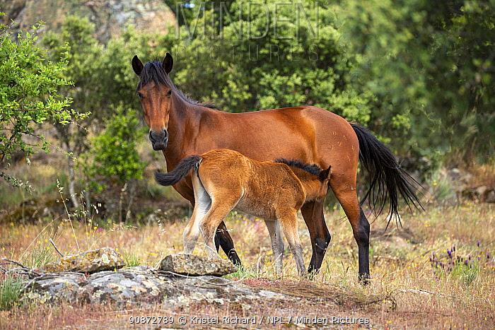 Garrano horse (Equus ferus caballus) mare suckling her foal, Faia Brava Reserve, part of Rewilding Europe, Greater Coa Valley, Portugal. May.