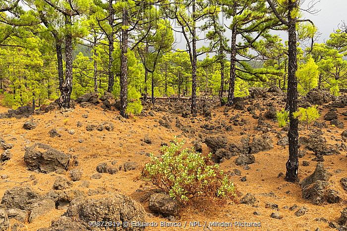 Canary Island pine trees (Pinus canariensis) amongst volcanic rock, Cumbre Vieja Volcano, La Palma. Canary Islands. Spain. Europe. September 2021