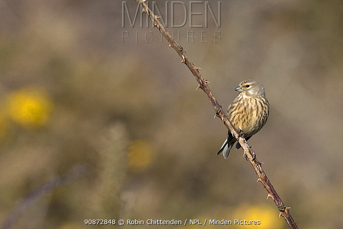 Linnet (Carduelis cannabina) perched on a thorny branch, Suffolk UK April.
