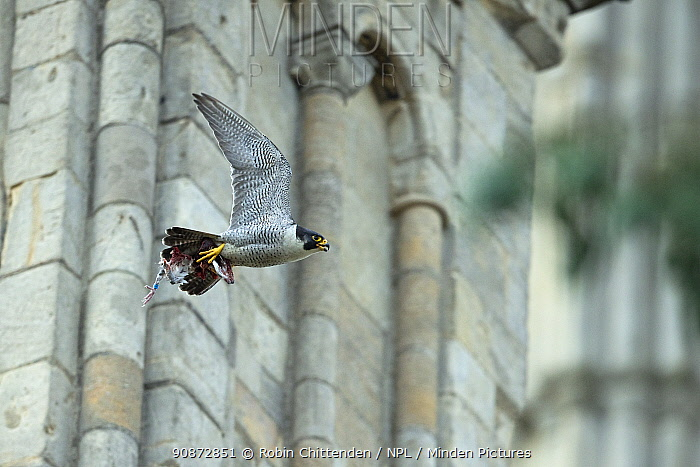 Male adult Peregrine falcon (Falco peregrinus) flying with prey for its young, Norwich Cathedral UK, June.