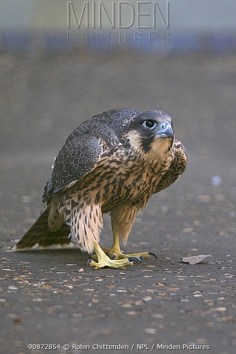Female juvenile Peregrine falcon (Falco peregrinus) grounded and later rescued and released, Norwich Cathedral UK, June.