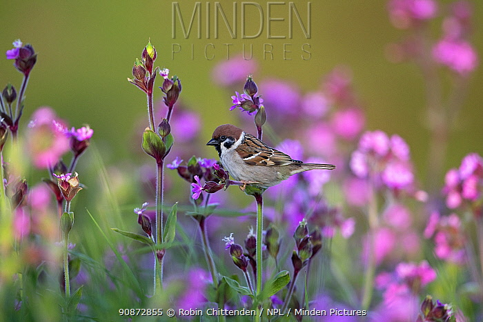 Tree sparrow (Passer montanus) perched, surrounded by wildflowers, Bempton Cliffs, Yorkshire, UK, May.