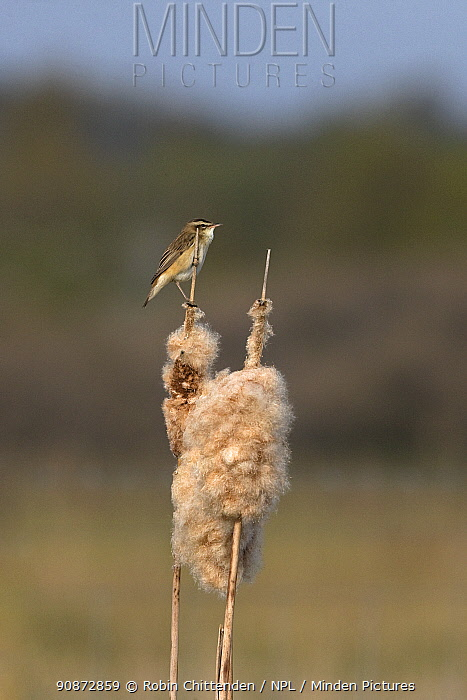 Sedge warbler (Acrocephalus schoenobaenus) perched on reed seedheads, Earlham Marshes Norwich UK, May.