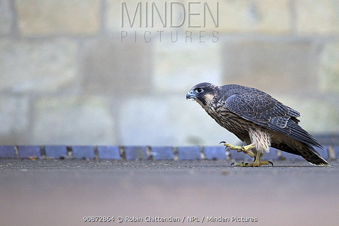 Female Peregrine falcon (Falco peregrinus) grounded after being released, Norwich Cathedral UK, June.