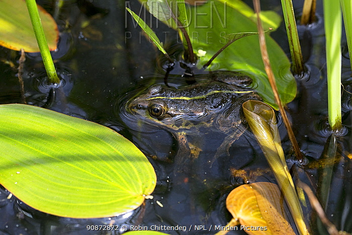 Northern pool frog (Pelophylax lessonae) half submerged, surrounded by water plants, Thompson Common Norfolk UK, June.