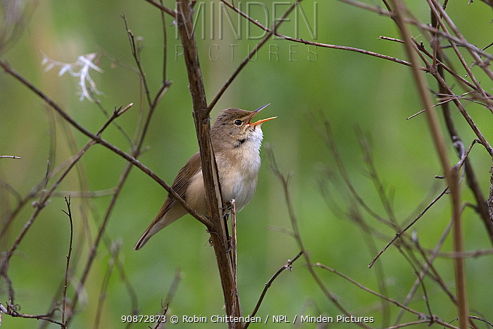 Reed warbler (Acrocephalus scirpaceus) singing, perched on a branch, Whitlingham CP Norwich UK, May.