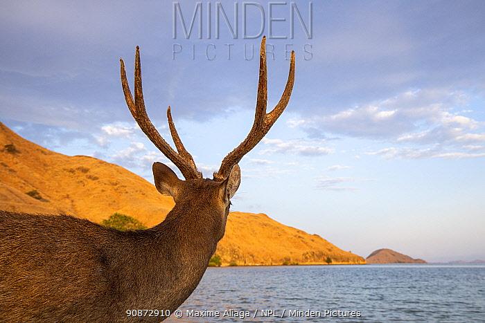 Male Rusa deer (Rusa timorensis) rear view, looking at sea, Gili Lawadarat, Komodo archipelago, Indonesia