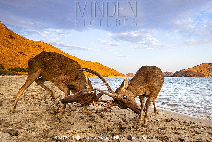 Male Rusa deer (Rusa timorensis) fighting, Gili Lawadarat, Komodo archipelago, Indonesia.