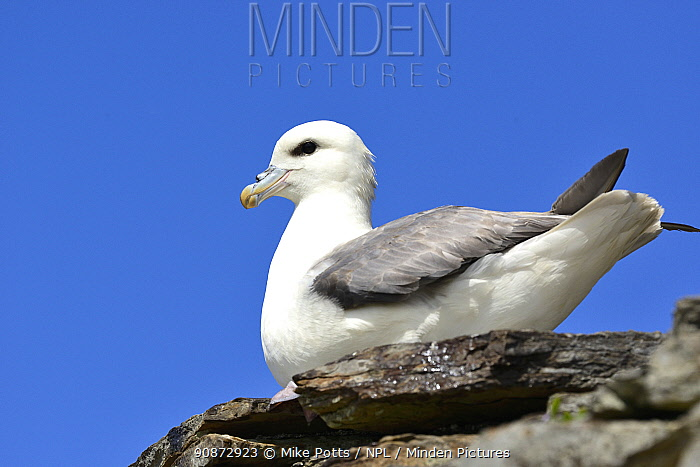 Fulmar (Fulmarus glacialis) resting on ancient stone wall, Island of Rousay, Orkney Islands, Scotland, June.