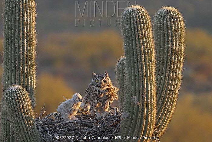 Great horned owls (Bubo virginianus), adult and chick, on nest in Saguaro cactus (Carnegiea gigantea), Sonoran desert, Arizona.