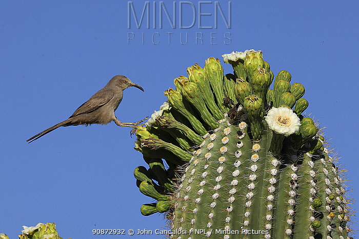 Curve-billed thrasher (Toxostoma curvirostre) feeding on nectar in Saguaro blossom (Carnegiea gigantea) and insects trapped in them, Sonoran desert, Arizona.