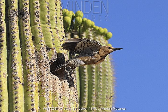 Gila woodpecker (Melanerpes uropygialis) flying from nest in Saguaro cactus (Carnegiea gigantea), Sonoran desert, Arizona.