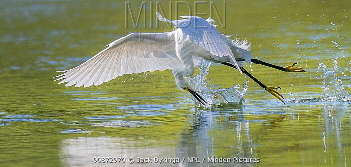 Snowy egret (Egretta thula) skim-fishing by dragging its feet across the water surface and catching fleeing fish, Gilbert Riparian Preserve, Gilbert, Arizona, USA.