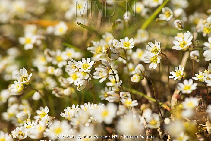 Common whitlowgrass (Erophila verna) in flower, growing on old lead-mining area of Mendips, near Priddy, Somerset, UK, March. Digital Original