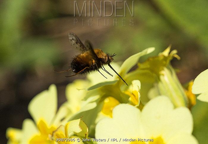 Dotted bee-fly (Bombylius discolor) visiting a Primrose (Primula vulgaris), urban garden, Bristol, UK, April. Digital Original