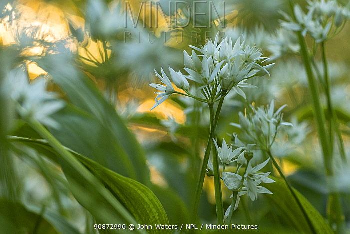 Wild Garlic (Allium ursinum) flowers in evening sun, deciduous woodland near Bristol, UK, May, 2021.