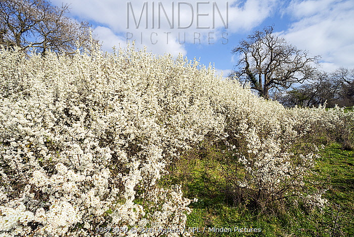 Blackthorn (Prunus spinosa) in flower, cpvered with blossom, near Bristol, UK, April, 2021.